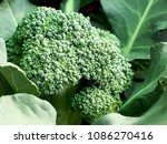 broccoli is growing  waiting to ... | Shutterstock . vector #1086270416