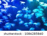 Moon Jellyfish Aurelia Aurita...