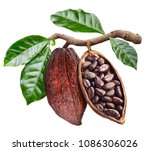 Open Cocoa Pod With Cocoa Seed...