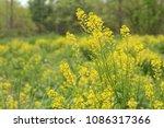 yellow wildflowers in a field   Shutterstock . vector #1086317366