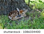 a new born white tailed deer... | Shutterstock . vector #1086334400