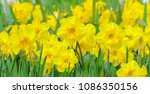 Yellow Daffodils In Bloom On A...