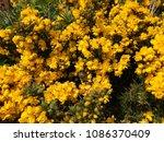 Ulex  Gorse  Yellow Flowers Of...