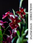 Small photo of Deep red color orchid miltonia on a black background.