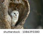 Barn Owl  Tyto Alba  Resting I...
