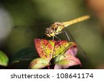 yellow dragonfly (Brachytron pratense) sitting on top of a plant - stock photo