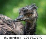 Australian Emu In A Zoo.