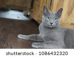 Stock photo russian blue cat lying on the floor 1086432320