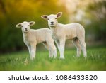 Cute Little Lambs On Fresh...