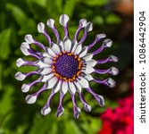 Small photo of African Daisy exotic tropical flower