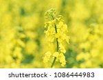 yellow flower of rape growing....   Shutterstock . vector #1086444983