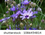 blue flowers of cupid's dart ...   Shutterstock . vector #1086454814