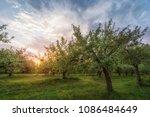 apple garden  at sunset  or...   Shutterstock . vector #1086484649