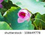 Blooming Lotus Bud Under...