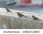 bird  eurasian tree sparrow ... | Shutterstock . vector #1086512804
