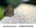 Small photo of Butterfly from the Taiwan (Satyrium formosanum) Satyrium formosanum little butterfly