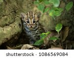 leopard cat is wild animal live ...   Shutterstock . vector #1086569084