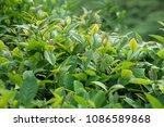 green tea trees in spring  | Shutterstock . vector #1086589868