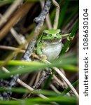 the american green tree frog ... | Shutterstock . vector #1086630104