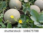 Melon In A Vegetable Garden ...