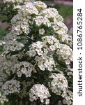 Small photo of blossoming white bush of Actium
