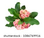 Small photo of Crown of Thorns flower. Red flower with thorns. Euphorbia Milia Desmoul. thorn tree Crown of thorns plant, Euphorbia splendens White as background.