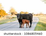 calf suckle on the road on... | Shutterstock . vector #1086805460