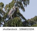 grey heron ardea cinerea bird | Shutterstock . vector #1086813104
