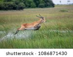 running antelope waterbuck ... | Shutterstock . vector #1086871430