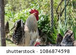 handsome colorful rooster or... | Shutterstock . vector #1086874598