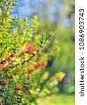 bush with orange red flowers of ... | Shutterstock . vector #1086903743