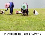 workers are removing hay out of ... | Shutterstock . vector #1086929948