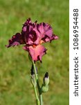 Small photo of Close up of a tall bearded iris flower - Latin name - iris barbata elatior 'Lady Friend'