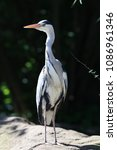 close up of a wild grey heron | Shutterstock . vector #1086961346