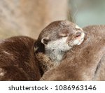 short clawed otters cuddling | Shutterstock . vector #1086963146