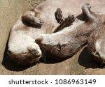 short clawed otters cuddling | Shutterstock . vector #1086963149