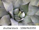 close up design of desert agave ... | Shutterstock . vector #1086963350
