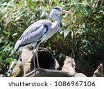 close up of a grey heron | Shutterstock . vector #1086967106