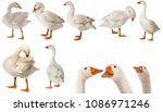 White Goose  Anser Anser...