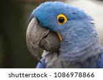 Lears Macaw  Anodorhynchus...