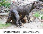 mother dog puppies to suckle. | Shutterstock . vector #1086987698
