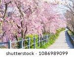 Kyoto's Cherry Blossom   Spring ...