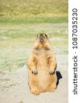 Small photo of Brown furry marmot live on high mountain of India, Leh Ladakh - India