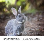 a cute little bunny eating... | Shutterstock . vector #1087072283