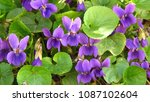 Small photo of wood violet, Viola odorata