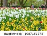 beautiful blooming tulips in... | Shutterstock . vector #1087151378