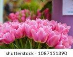beautiful blooming tulips in... | Shutterstock . vector #1087151390