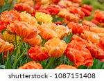 beautiful blooming tulips in... | Shutterstock . vector #1087151408