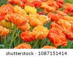 beautiful blooming tulips in... | Shutterstock . vector #1087151414