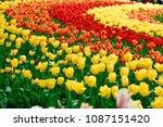 beautiful blooming tulips in... | Shutterstock . vector #1087151420